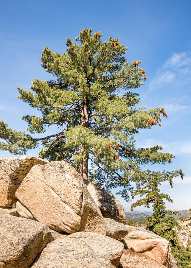 Pine tree, Keller Peak Fire Lookout area, Rim of the World Scenic Byway, CA royalty free stock photos
