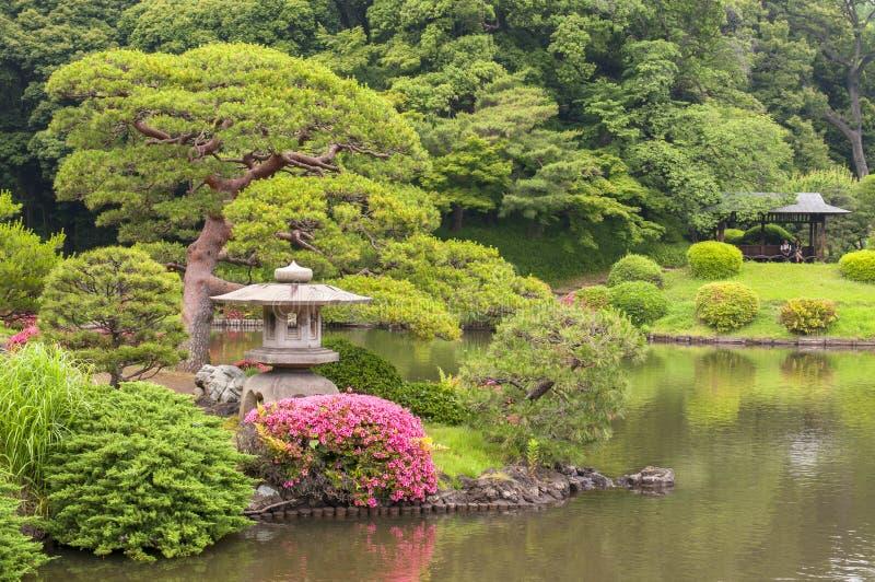The Pine tree in Kiyosumi Garden in Tokyo, Japan.  royalty free stock image