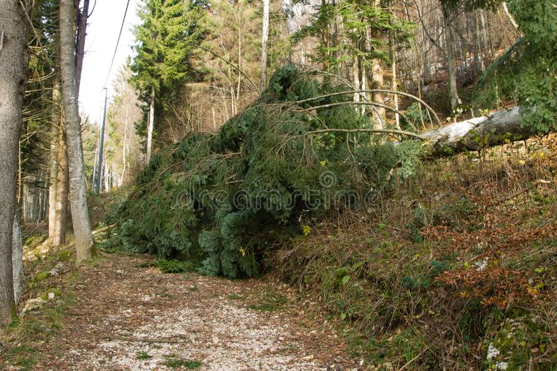 Pine tree knocked down by the wind. Tree knocked down by the wind along a trekking path landscape mountain pine danger dangerous downed fall fallen hiking royalty free stock image
