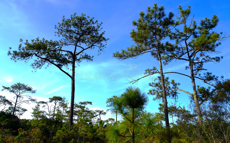 The pine tree in the large forest stock images