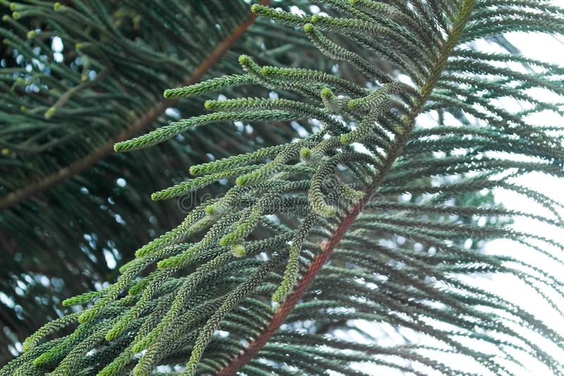 Pine Tree Macro. Pine Tree Leafs Macro Photo stock images