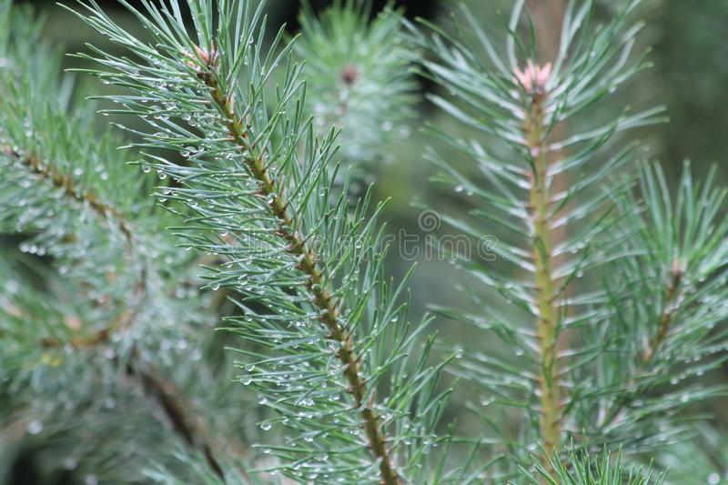 Moist pine tree leaves with water droplets. Moist pine tree leaves from the morning dew with the water droplets clearly visible stock image
