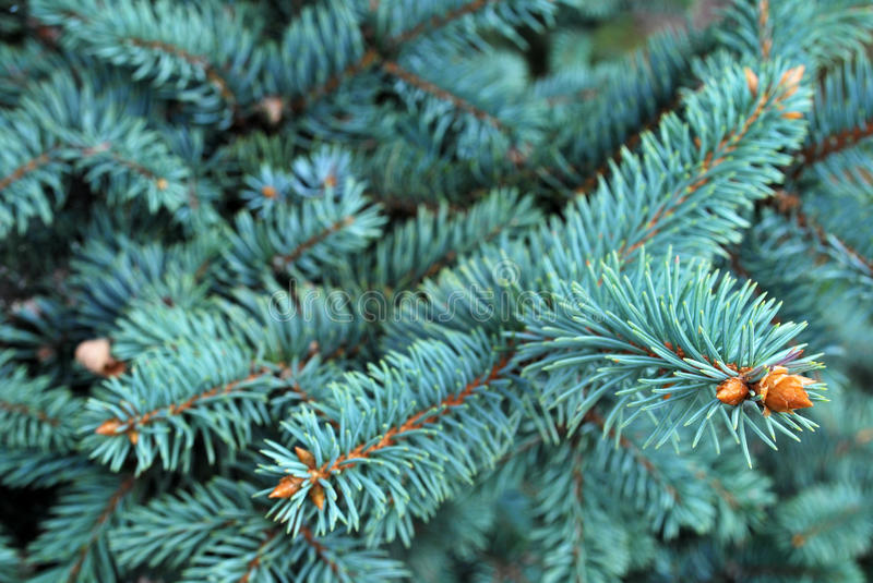 Pine Tree Leaves. The leaves and branches of a pine tree stock photo