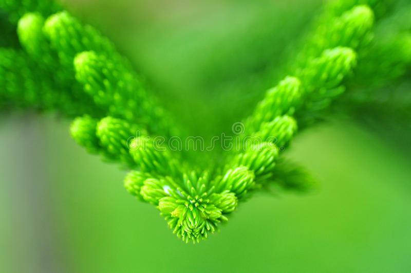 Pine tree leaves. Close up the top of pine tree leaves royalty free stock photos
