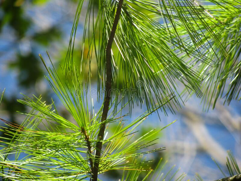 Pine Tree Leaves On Tree Free Public Domain Cc0 Image