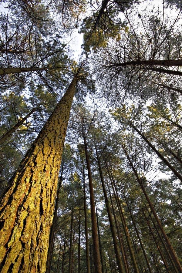 Pine Tree Light stock photography
