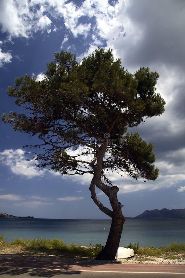 Pine tree on Majorca royalty free stock image