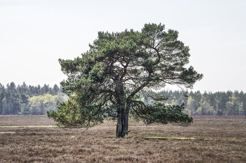 Pine tree on the moor. Single pine tree growing on heathland near Heerde, The Netherlands royalty free stock images