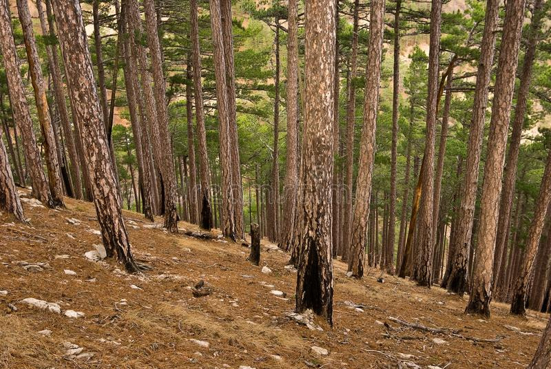 Pine tree mountain forest stock images