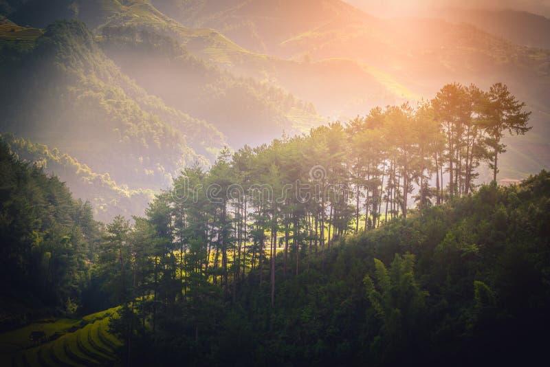 Pine tree on mountain near rice fields on terraced at sunrise stock image
