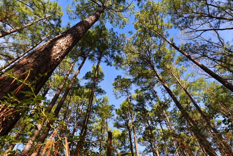 Pine tree in national forest, piney Woods, East Texas arkivbilder