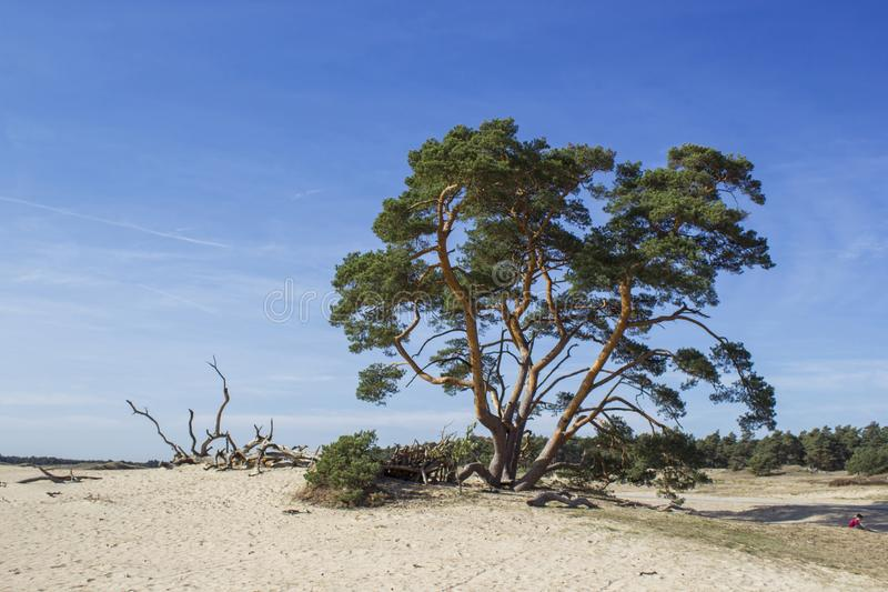 Pine tree in the National Park Hoge Veluwe, Netherlands. royalty free stock photography