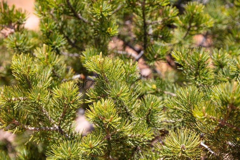 Pine tree needles closeup, full texture background royalty free stock photography