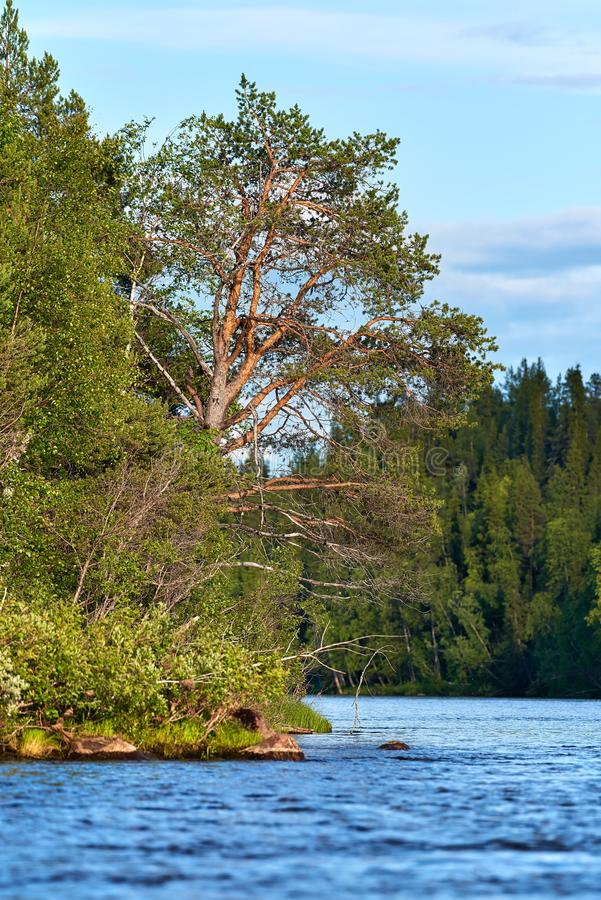Pine tree and other trees by the river bend. Pine tree and other trees by the torne river bend in the Swedish Lapland in nearby Kengis falls in evening light royalty free stock photo