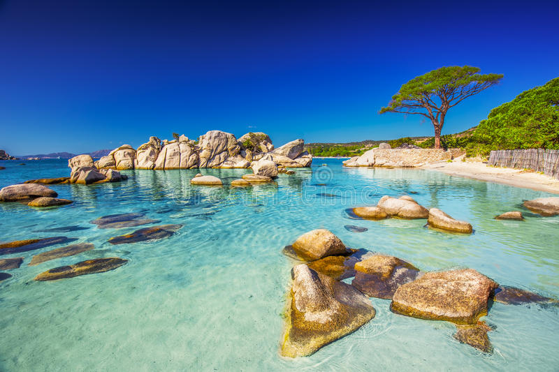Pine tree on Palombaggia beach, Corsica, France. Famous pine tree on Palombaggia beach with azure clear water and sandy beach on the south part of Corsica stock photos