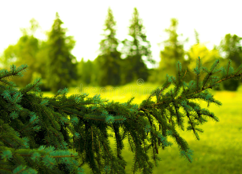Pine tree in a park royalty free stock images