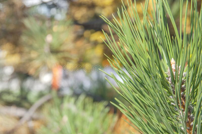 Pine tree part on right side and blurry color background royalty free stock images
