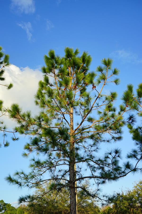 Pine tree with Pinecone. Pine tree with Pine cone, taken in florida royalty free stock photography