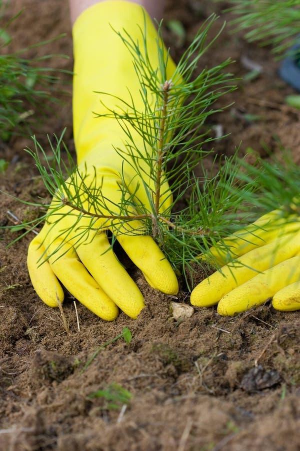 Pine-tree plant royalty free stock photos