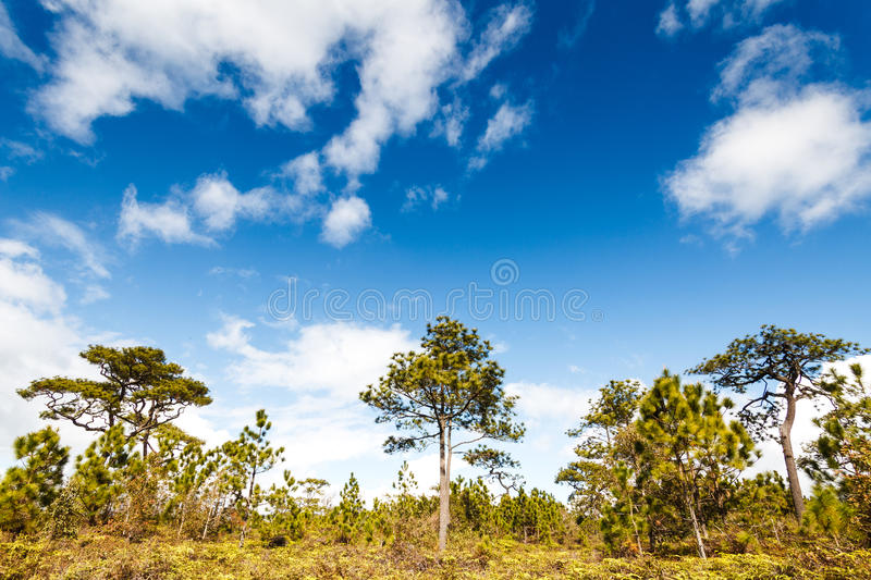 Pine Tree In Rain Forest Royalty Free Stock Photos