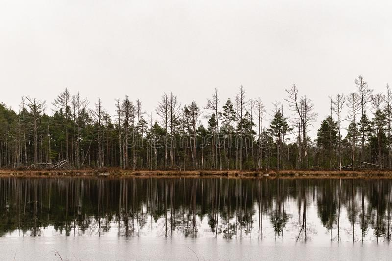 Pine tree reflection in the marsh lake. stock photography
