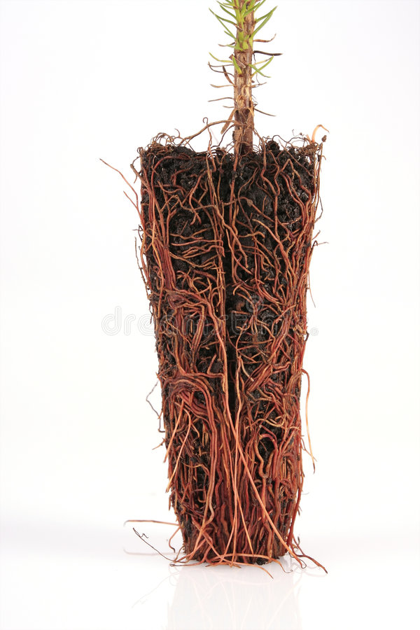 Download Pine tree roots stock image. Image of flat, below, germinating - 5817799