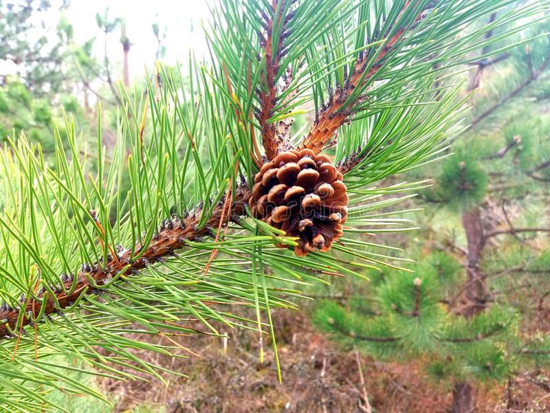 Pine Tree`s Branch with a Pinecone stock photography