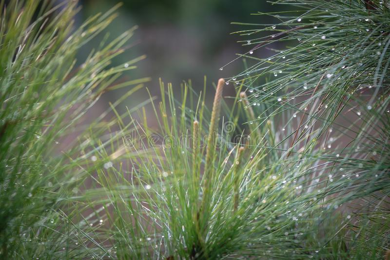 Pine tree seedlings in the woods. With soft light and morning dew stock images