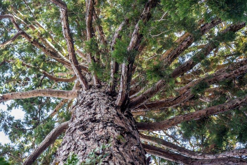 Pine tree seen from below stock photos