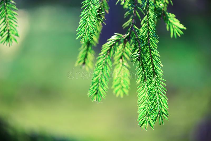 Pine tree, selective focus, blurry and bokeh background. Copy space. Banner. Morning dew on twig, abstract natural royalty free stock images