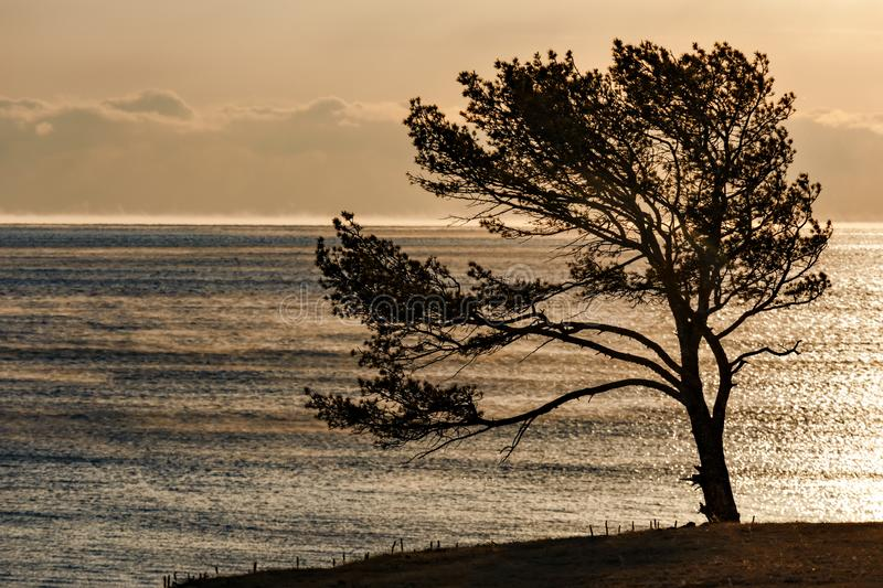 Pine tree at the shore of Baikal lake in December royalty free stock photos