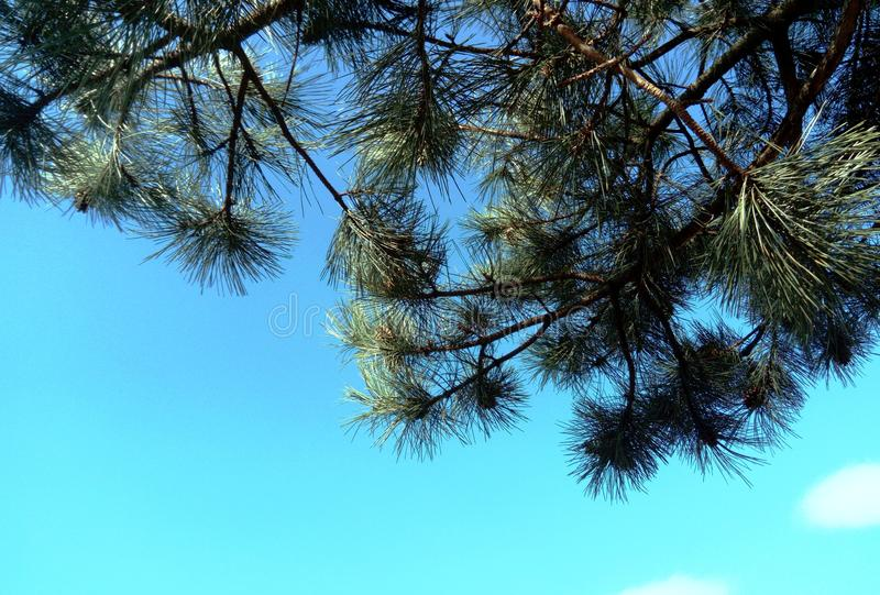 Pine tree branches against blue sky with fluffy cloud stock photos