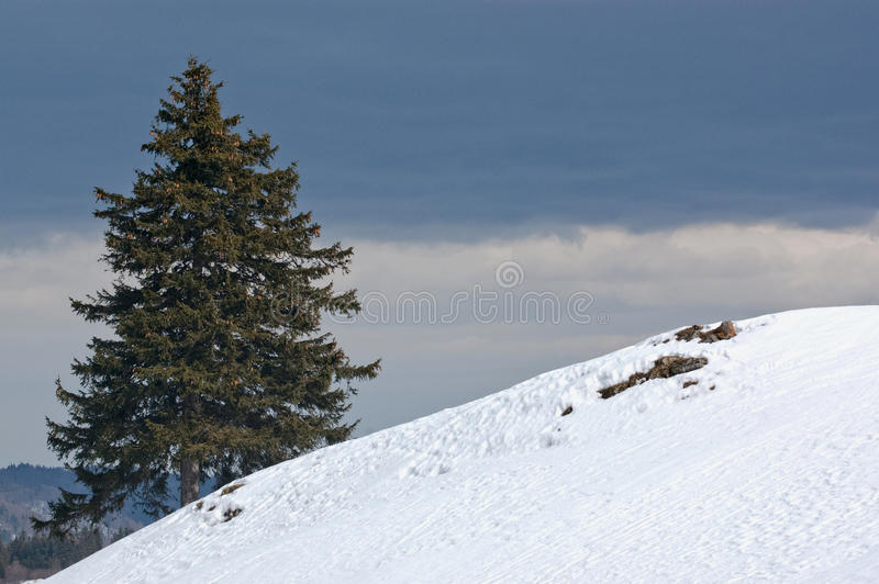 Pine tree and snow stock photography