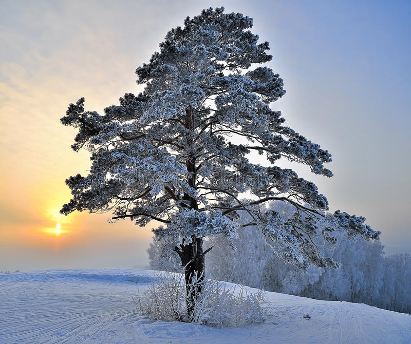 Pine tree on a snowy hill. stock photos