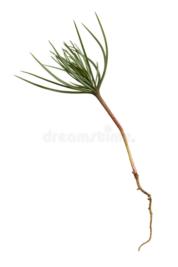 Free Pine Tree Sprout Stock Photography - 8343122