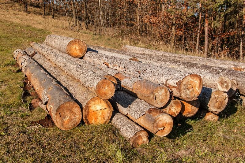Pine tree and spruce. A pile of logs in a meadow at a forest. Bark beetle calamity. Timber extraction. Preparing for the winter stock photography