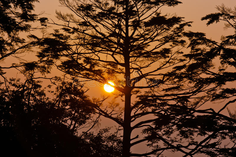 Download Pine Tree In The Sunrise Stock Photography - Image: 21481732