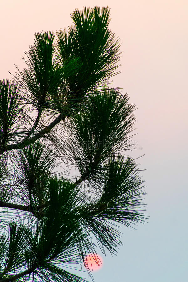 Pine Tree Sunrise stock photography