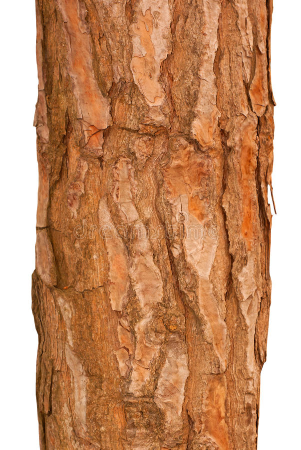 Download Pine tree trunk stock photo. Image of tree, forest, plant - 25612496