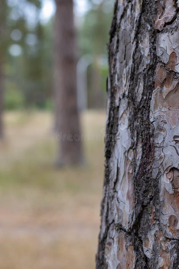 Pine Tree Trunk Texture de l'écorce Fermer le parc voie bg photos libres de droits