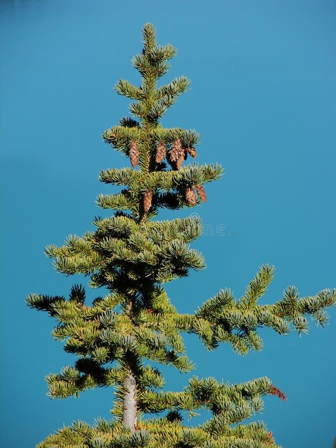Pine Tree Turquoise stock photos
