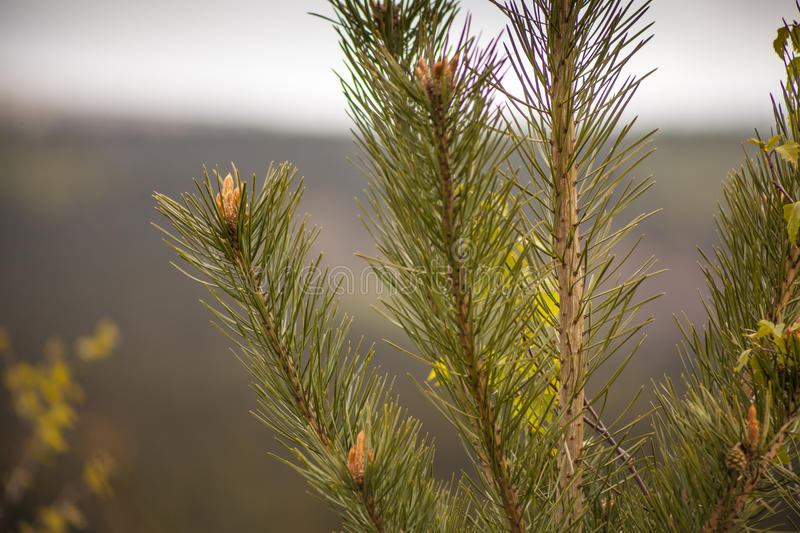Pine Tree Twigs stock images