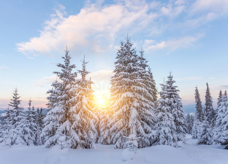 Pine tree in winter at sunset in the mountains. Purple sky stock photography