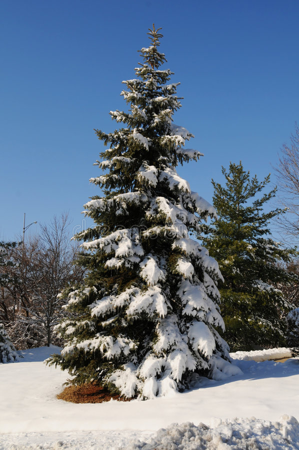 Free Pine Tree With Snow Royalty Free Stock Photos - 4214428