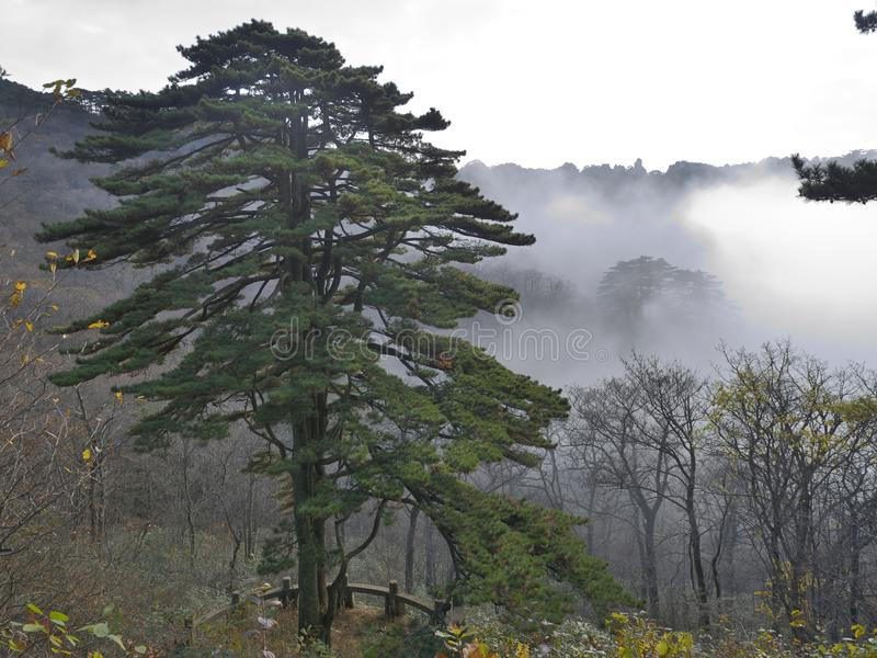 Pine tree in Yellow Mountain - Huangshan, China royalty free stock images