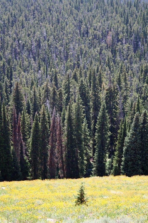 Pine trees royalty free stock image