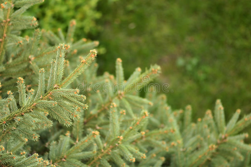 Download Pine Trees Stock Photo - Image: 11092700