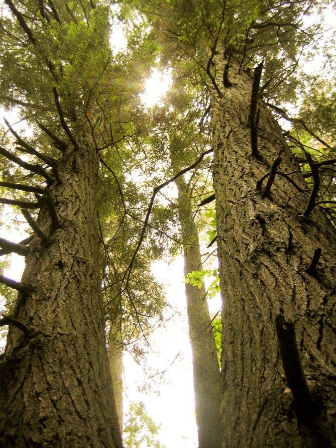 Free Pine Trees Royalty Free Stock Photos - 14594448
