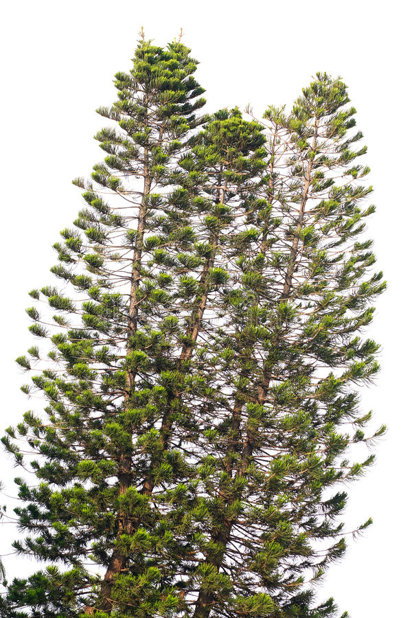 Download Pine trees stock photo. Image of greenery, wood, leaves - 21547624