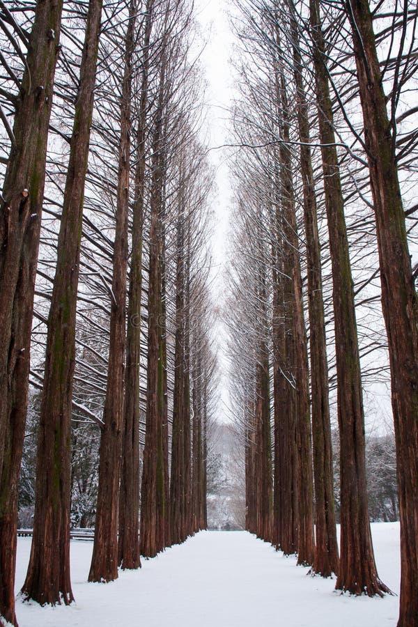 Download Pine trees stock image. Image of wood, tree, snow, wild - 26394835